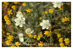 Photo of Cream cups - Mojave Desert Wildflowers