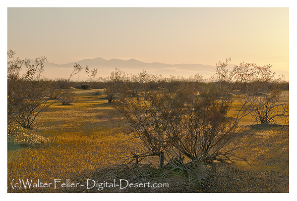 Photo of cresote bushes at sunset in early spring in the Mojave Desert