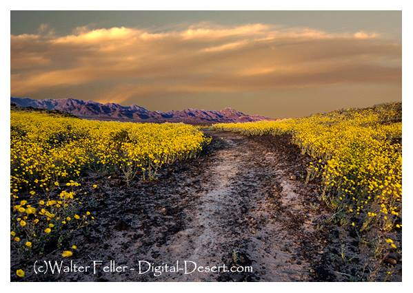 Desert gold wildflowers along Amboy Crater Road