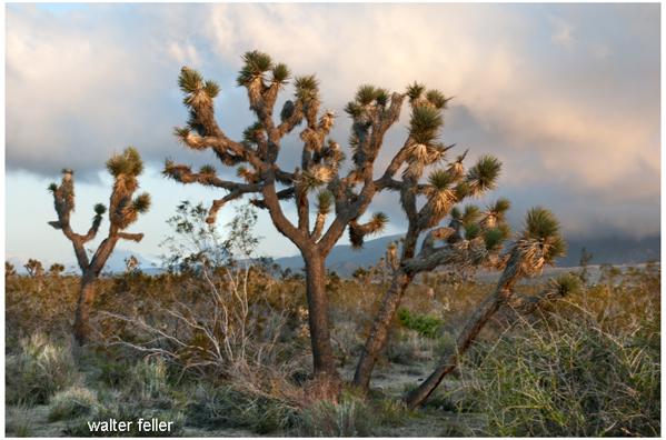 Joshua trees - yucca brevifolia