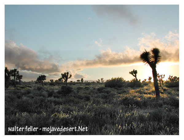 Desert palm (Joshua trees)