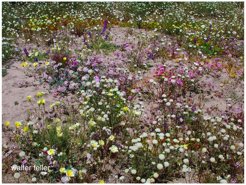 Wildflowers of the Mojave - pincushions, verbena, desert dandelions