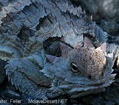 horned lizard, desert wildlife