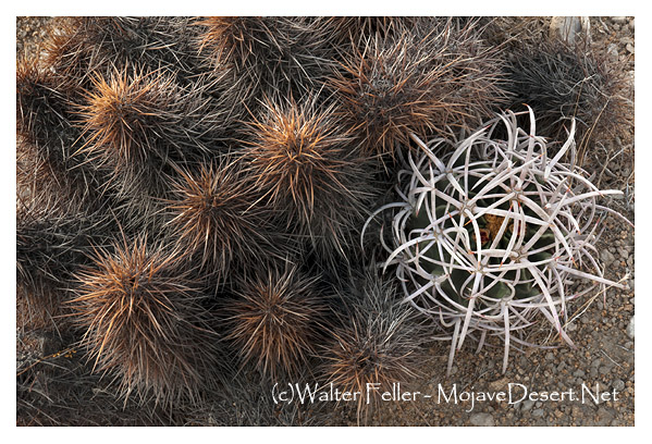 599-cactus-mound-cottontop-r3820