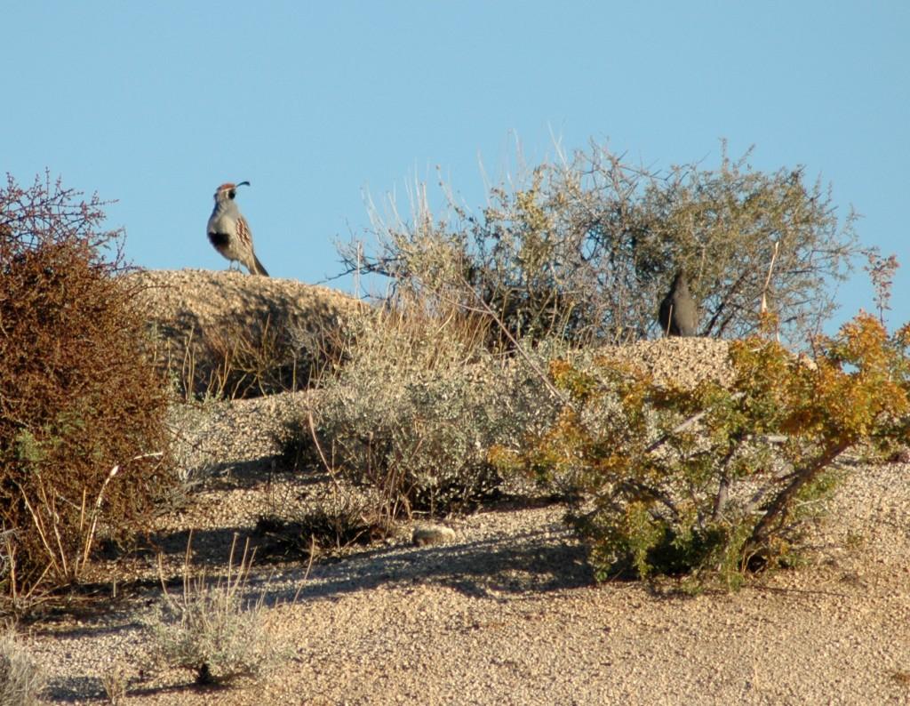 gambel's quail, Mojave Desert wildlife