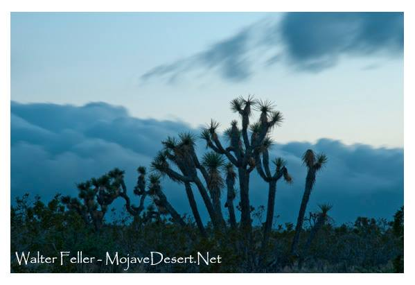 Joshua trees with storm rolling up behind them
