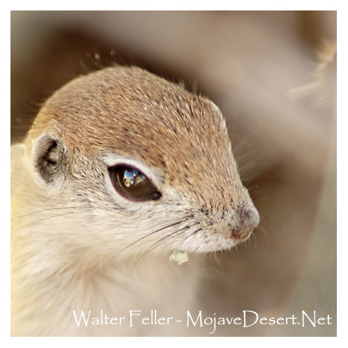 Axl Squirrel (round-tailed ground squirrel) - b. unk. d October 12, 2013 Cause of death: eaten by hawk.