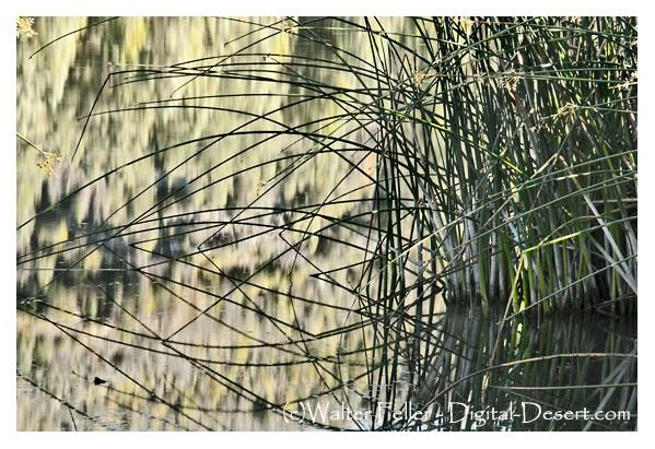 Reeds along Big Bear Lake