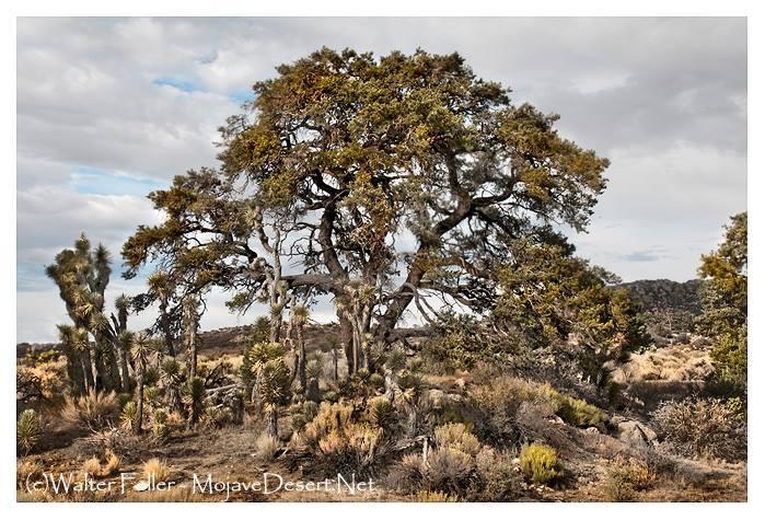 """Nurse plant pinon pine for Joshua trees"