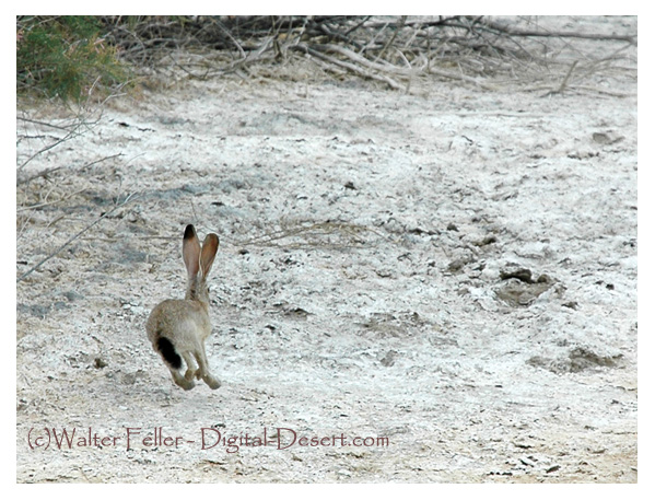 jackrabbit, desert wildlife
