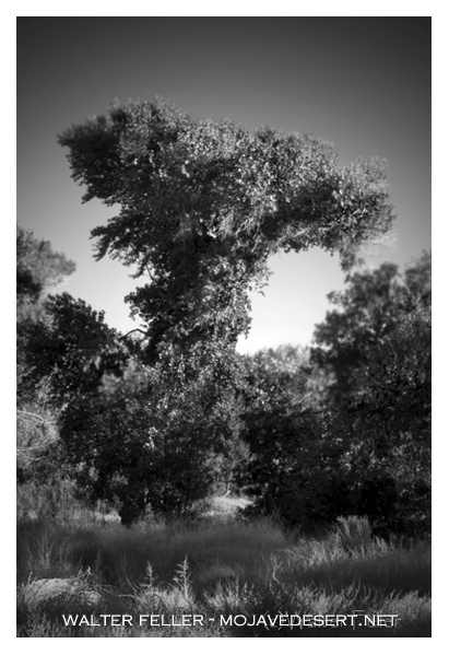Twisted cottonwood tree growing in Mojave Riverbed, Victorville, Ca.